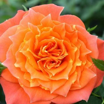Роза Мандарин Симфони / Mandarine Symphonie (Патио)