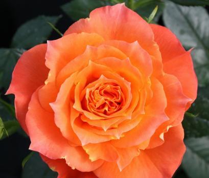 Роза Оранж Симфони / Orange Symphonie (Патио)
