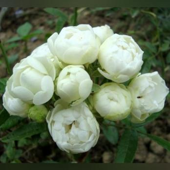 Роза Уайт Морсдаг / White Morsdag (полиантовая)