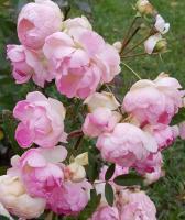 Роза Пинк Морсдаг / Pink Morsdag (полиантовая)