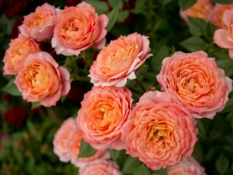 Роза Бриоза / Briosa (Флорибунда)