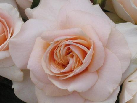 Роза Прайд энд Преджудис /  Pride and Prejudice (Флорибунда)