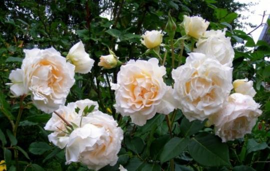 Роза Пустиния / Poustinia (Флорибунда)