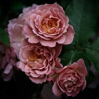 Роза Лавендер Пиноккио / Lavender Pinocchio (Флорибунда)