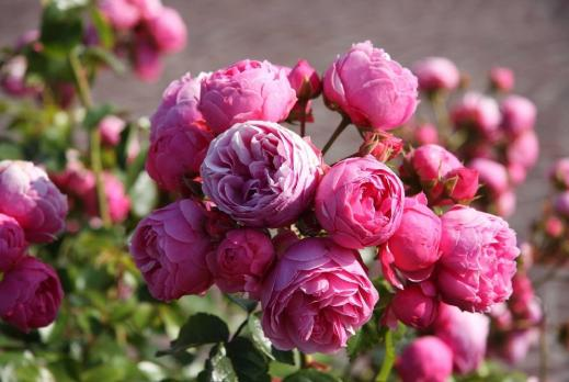 Роза Помпонелла / Pomponella  (Флорибунда)