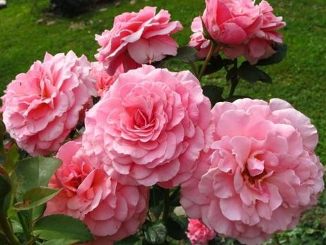 Роза Тиклд Пинк / Tickled Pink (Флорибунда)