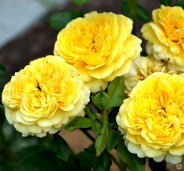 Роза Инка / Inka (Флорибунда)