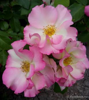 Роза Лиола / Liola (Флорибунда)