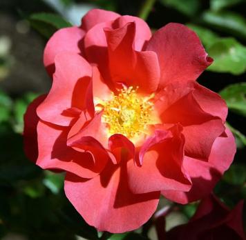 Роза Кинко Де Майо / Cinco de Mayo (Флорибунда)
