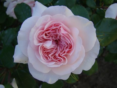 Роза Мария Терезия /  Mariatheresia (Флорибунда)