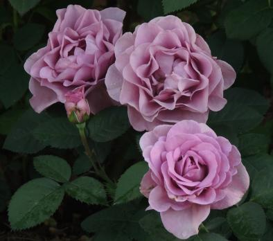 Роза Терра Лимбургия / Terra Limburgia (Флорибунда)