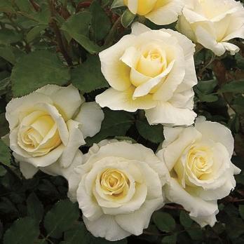 Роза Уайт Ликорис / White Licorice (Флорибунда)