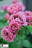 Роза Аой / Aoi (Японская)