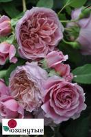 Роза Французское платье / Robe a la francaise (Японские)