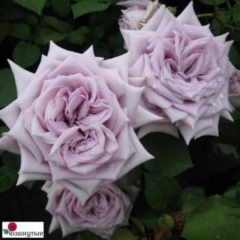 Роза Шато Мертию / Chateau Myrtille (Японские)