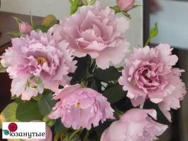 Роза Кутюре роз Тилия / Couture Rose Tilia (Японские)