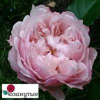 Роза Сесиль де Воланж / Cecil de Volanges (Японские)