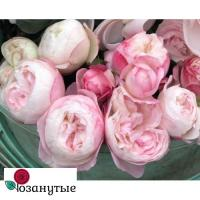 Роза Стробери Макарон / Strawberry Macaron (Японские)
