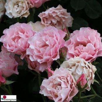 Роза Дафна, Восточный Фарфор / Porcelaine d Orient, Daphne (Японские)
