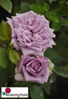 Роза Блю Романеско / Blue Romanesque (Японские)