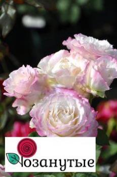 Роза Серафим / Seraphim (Японские)