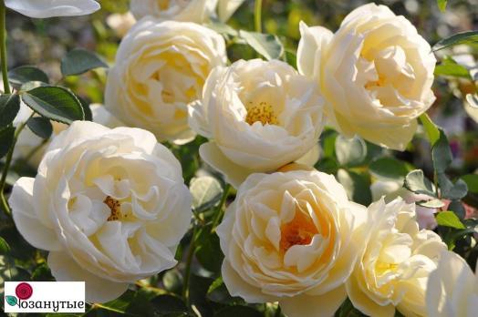 Роза Ла Пети Пайе / La Petite Pair (Японские)