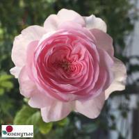 Роза Мон Кёр / Mon Coeur (Японские)