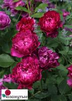 Роза Вельвити Твайлайт / Velvety Twiligh (Японские)
