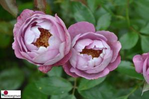 Роза Буль дэ Парфюм / Boul de Parfum (Японские)
