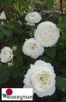 Роза Сидзуку / Shizuku (Японские)