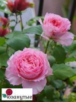 Роза Корона / Corona (Японские)