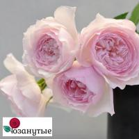 Роза Мисаки / Misaki (Японские)