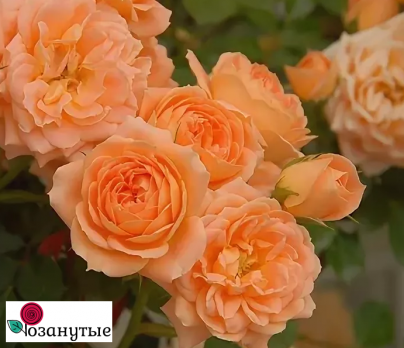 Роза Сансет Мемори / Sunset Memory (Японские)