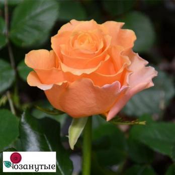 Роза Карпи Дием / Karpe Diem (Чайно-гибридные)