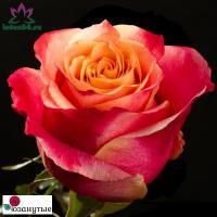 Роза Три Д / 3D (Чайно-гибридные)
