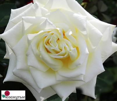 Роза Мачо / Macho (чайно-гибридные)