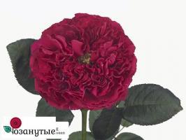 Роза Расберри Элеганс / Raspbery Elegance (чайно-гибридные)