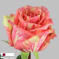 Роза Фиеста / Fiesta (чайно-гибридные)