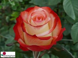 Роза Фарфалла / Farfalla (чайно-гибридные)