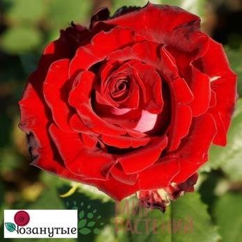 Роза Руби Ред /Ruby Red (чайно-гибридная)