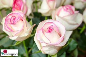 Роза Белла Вита / Bella Vita (Чайно-гибридные)