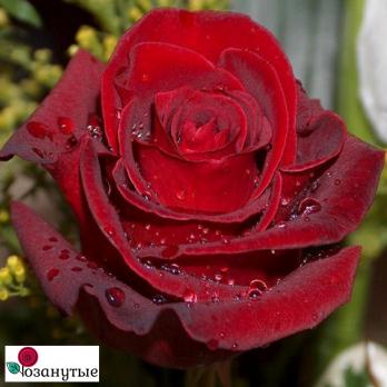 Роза Эксплорер / Explorer (чайно-гибридные)