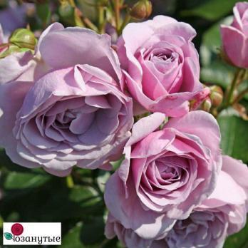 Роза Наутика / Nautica (Флорибунда)