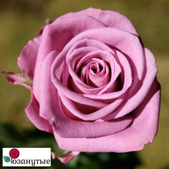 Роза Кул Ватер / Cool Water (чайно-гибридные)