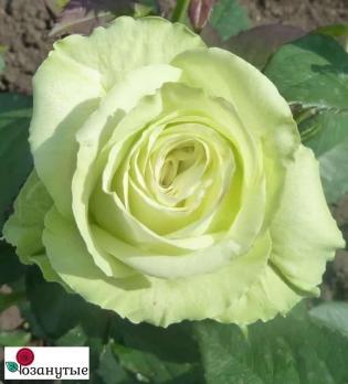 Роза Амандина / Amandine (Чайно-гибридная)