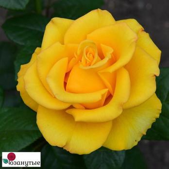 Роза Керио / Kerio (чайно-гибридная)