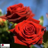 Роза Лавли Ред / Lovely Red (Чайно-гибридные)