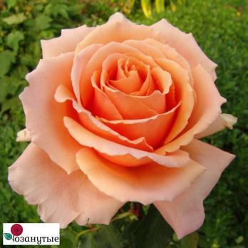 Роза Прима Донна / Prima Donna (Чайно-гибридные)