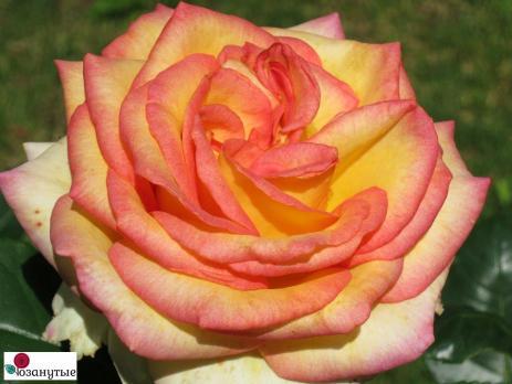 Роза Амбианс / Ambiance (чайно-гибридная)