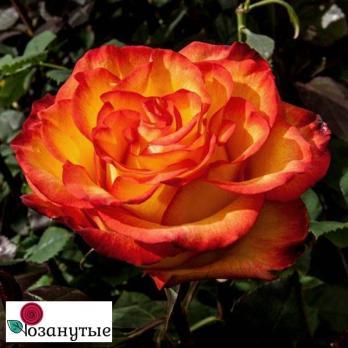Роза Золотая Магия / Golden Magic (чайно-гибридная)